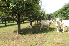 Sheep in apple trees