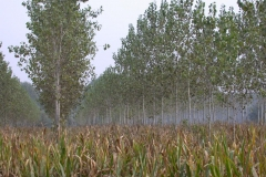 Poplar and intercrops