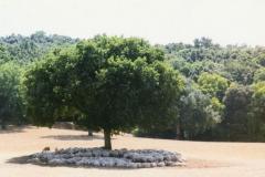 Pecore sotto quercia