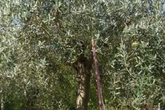 Asparagi nell'oliveto in Umbria