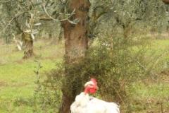 Consociazione olivo + asparago selvatico + pollo