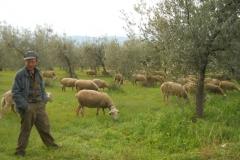 Pecore nell'oliveto in Umbria