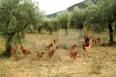 Polli nell'oliveto in Umbria